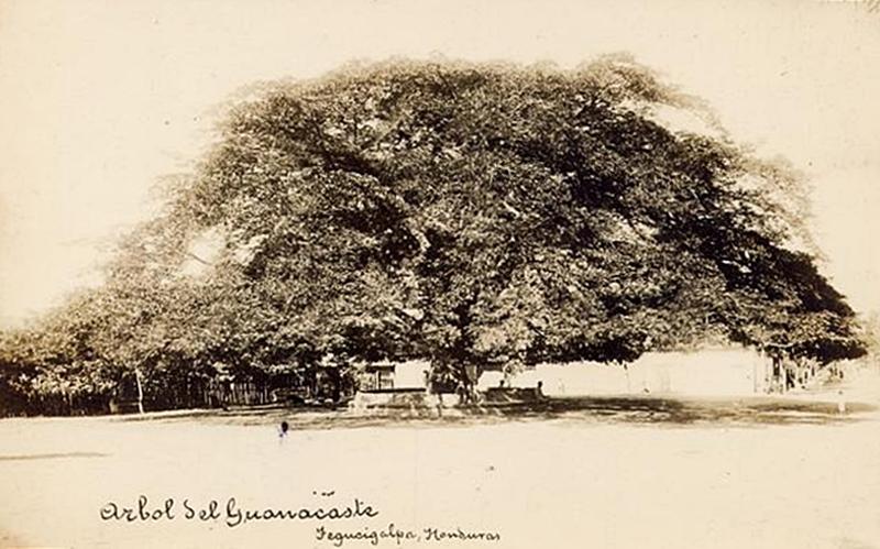 El antiguo árbol del Guanacaste